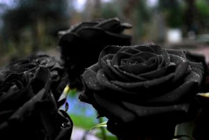 23-02-17-black-roses-pictures10912