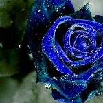 23-02-17-blue-roses-wallpapers4261