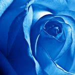 23-02-17-blue-roses-wallpapers4263