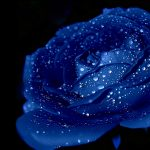 23-02-17-blue-roses-wallpapers4266