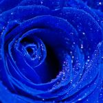 23-02-17-blue-roses-wallpapers4277