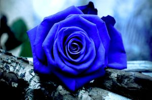 23-02-17-blue-roses-wallpapers4278