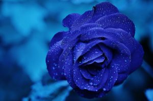 23-02-17-blue-roses-wallpapers4283