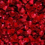 24-02-17-rose-wallpapers826