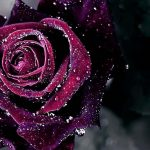 24-02-17-rose-wallpapers830