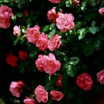 24-02-17-roses-wallpapers75
