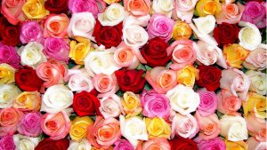 24-02-17-roses-wallpapers77