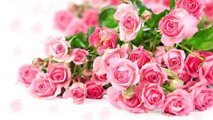 26-02-17-pink-roses-wallpapers1582