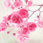 26-02-17-pink-roses-wallpapers1583