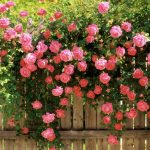 26-02-17-pink-roses-wallpapers1592