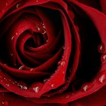 26-02-17-red-rose-wallpapers3053