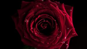 26-02-17-red-rose-wallpapers3069