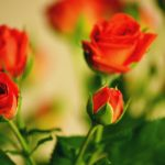 26-02-17-rose-flowers-wallpaper15545