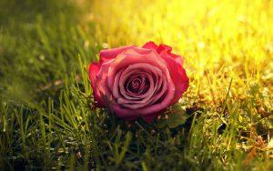 26-02-17-rose-grass-sunbeam12520