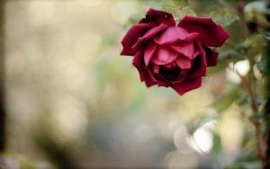 27-02-17-beautiful-flower-red-rose-photo13413
