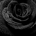 27-02-17-black-rose-flower11000