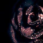 27-02-17-black-rose-flower12334