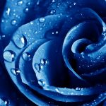 27-02-17-blue-rose-wet-drops12384