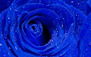 27-02-17-blue-roses14362