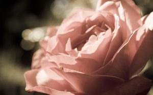 27-02-17-peach-rose17252