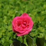 rose wallpaper hdtv 1920x1080