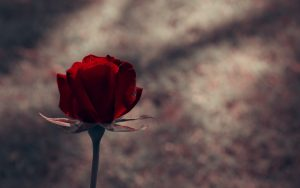 27-02-17-red-rose-flower-photo17165