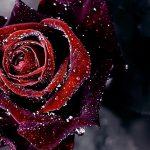 27-02-17-rose-water-drops-2470714333