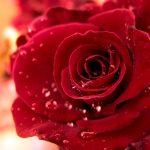 27-02-17-rose-water-drops11823