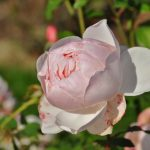 27-02-17-special-white-rose-wallpaper10346