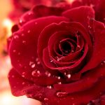 27-02-17-water-drops-on-red-rose13083