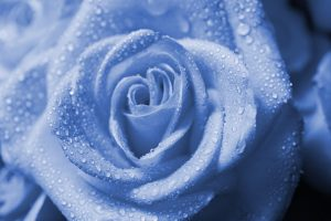 27-02-17-wet-drops-blue-rose18525