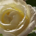 27-02-17-white-rose-pictures13586