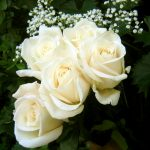 27-02-17-white-rose-wallpaper11280