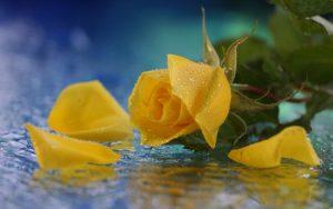 27-02-17-yellow-rose-water13756
