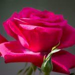 28-02-17-red-rose11145