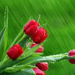28-02-17-rose-buds-hd-wallpapers13562
