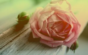 28-02-17-withered-peach-rose17799