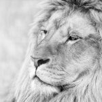 23-02-17-lion-close-up14-754