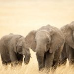 24-02-17-elephant-wallpapers513