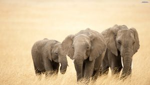24-02-17-elephant-wallpapers513