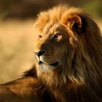 24-02-17-lion-wallpapers-630