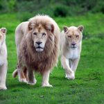 24-02-17-lion-wallpapers-638