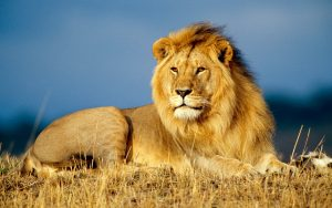 24-02-17-lion-wallpapers-641