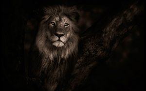 24-02-17-lion-wallpapers-644