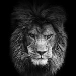 24-02-17-lion-wallpapers-656