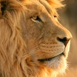 24-02-17-lion-wallpapers-748