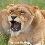 26-02-17-angry-lioness18-031