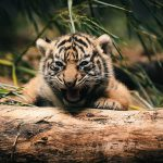 26-02-17-baby-tiger-wallpapers2441