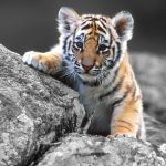 26-02-17-baby-tiger-wallpapers2442
