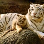 26-02-17-baby-tiger-wallpapers2444